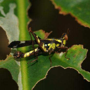 Orthoptera (Heuschrecken) - Thailand 2016