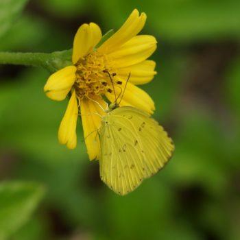 Coliadinae (Gelblinge)