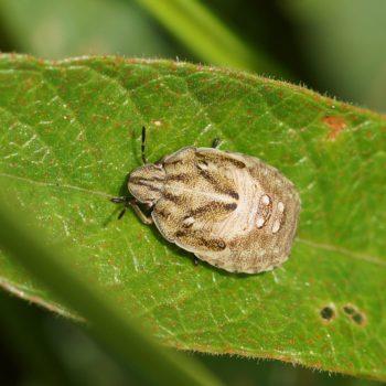 Eurygaster maura (Gräserwanze)