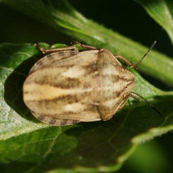 Eurygaster testudinaria (Schildkrötenwanze)