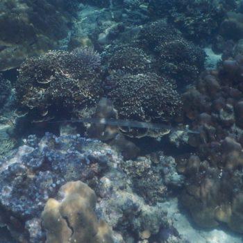 Fistularia commersonii (Glatter Flötenfisch) - Thailand