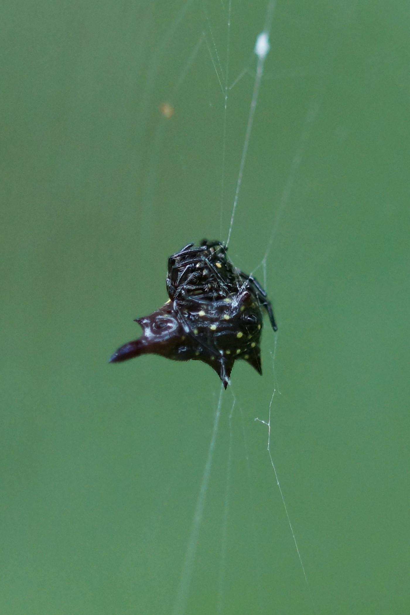 <i>Gasteracantha doriae</i> (Doria's Spiny Spider)