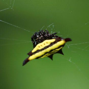 Arachnida (Spinnentiere) - Thailand 2017
