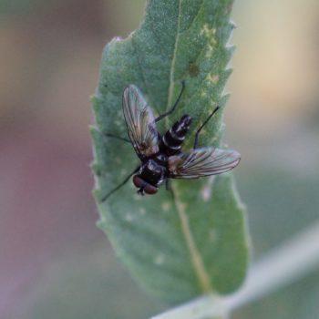 Gastrolepta anthracina (Raupenfliege)