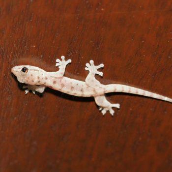 Gehyra mutilata (Four-clawed Gecko) - Thailand