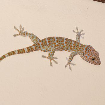 Gekko gecko (Tokeh) - Thailand
