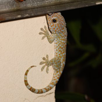 Gekko gecko (Tokeh)