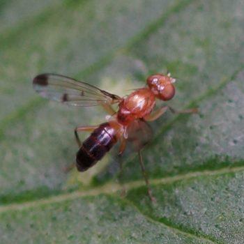 Geomyza hackmani (Grasfliege)