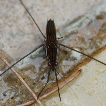 Gerridae sp. (Wasserläufer)