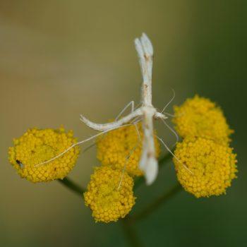 Gillmeria ochrodactyla (Federmotte)