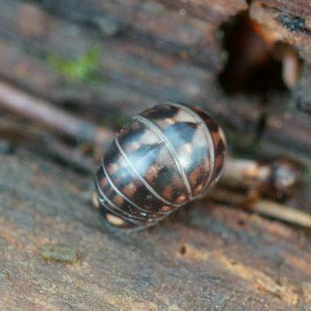 Glomeris intermedia (Westlicher Sechstreifen-Saftkugler)