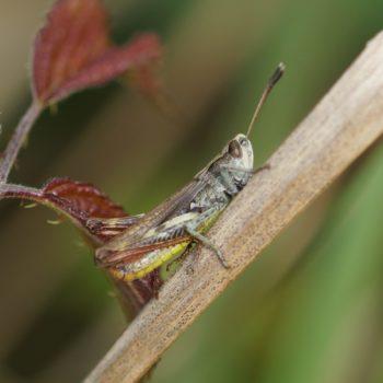 Gomphocerippus rufus (Rote Keulenschrecke)