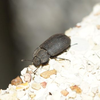Gonocephalum sp. (Schwarzkäfer) - Thailand