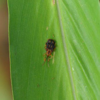 Gonophora sp. (Blattkäfer)