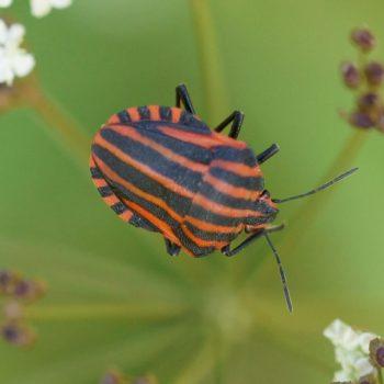 Podopinae