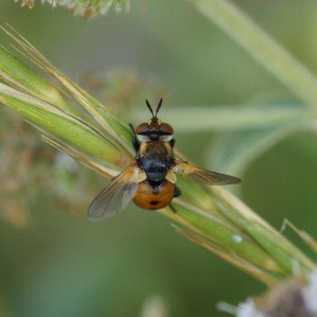 Gymnosoma sp. (Raupenfliege)