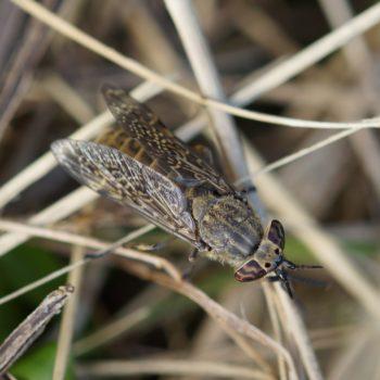 Haematopota pluvialis (Regenbremse)