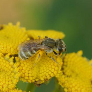 Halictus pollinosus (Filzige Furchenbiene)