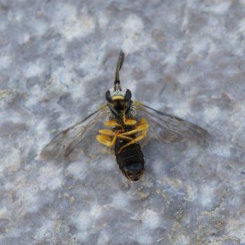 Halictus scabiosae (Gelbbindige Furchenbiene)
