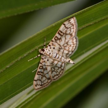Spilomelinae