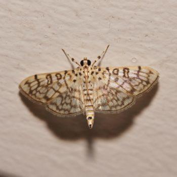 Haritalodes derogata (Cotton Leaf Roller)
