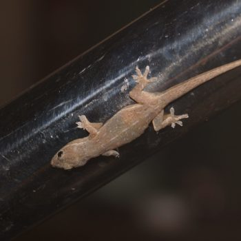 Hemidactylus frenatus (Asiatischer Hausgecko) - Thailand