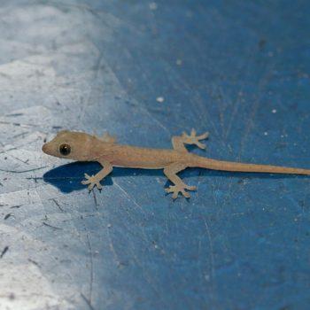 Hemidactylus frenatus (Spiny-tailed Gecko)
