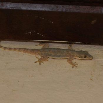 Hemidactylus platyurus (Saumschwanz-Hausgecko)