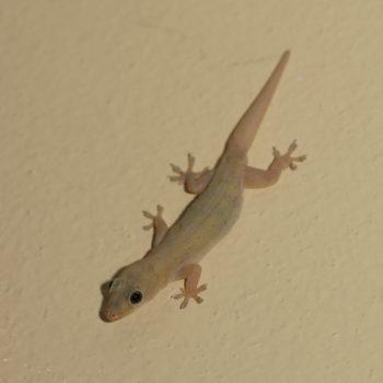 Hemidactylus platyurus (Saumschwanz-Hausgecko) - Thailand
