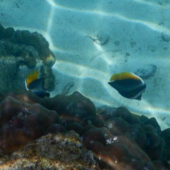 Heniochus singularius (Malayen-Wimpelfisch)