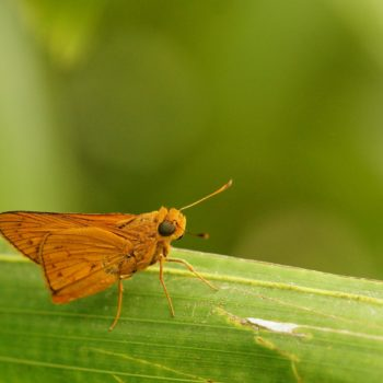 Hesperiidae sp. (Dickkopffalter)