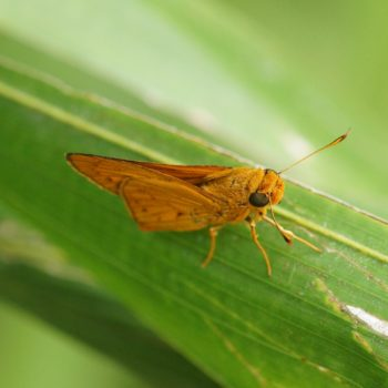 hesperiidae-sp-20170517-5