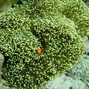 Heteractis magnifica (Prachtanemone) - Thailand