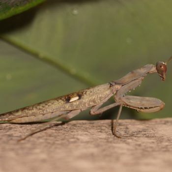 Hierodula patellifera (Giant Asian Mantis)