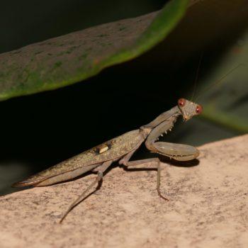 Mantodea (Fangschrecken) - Thailand 2016