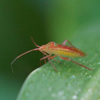 Hyalopelpus vitripoennis (Weichwanze)