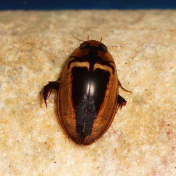 Hydaticus luczonicus (Schwimmkäfer)