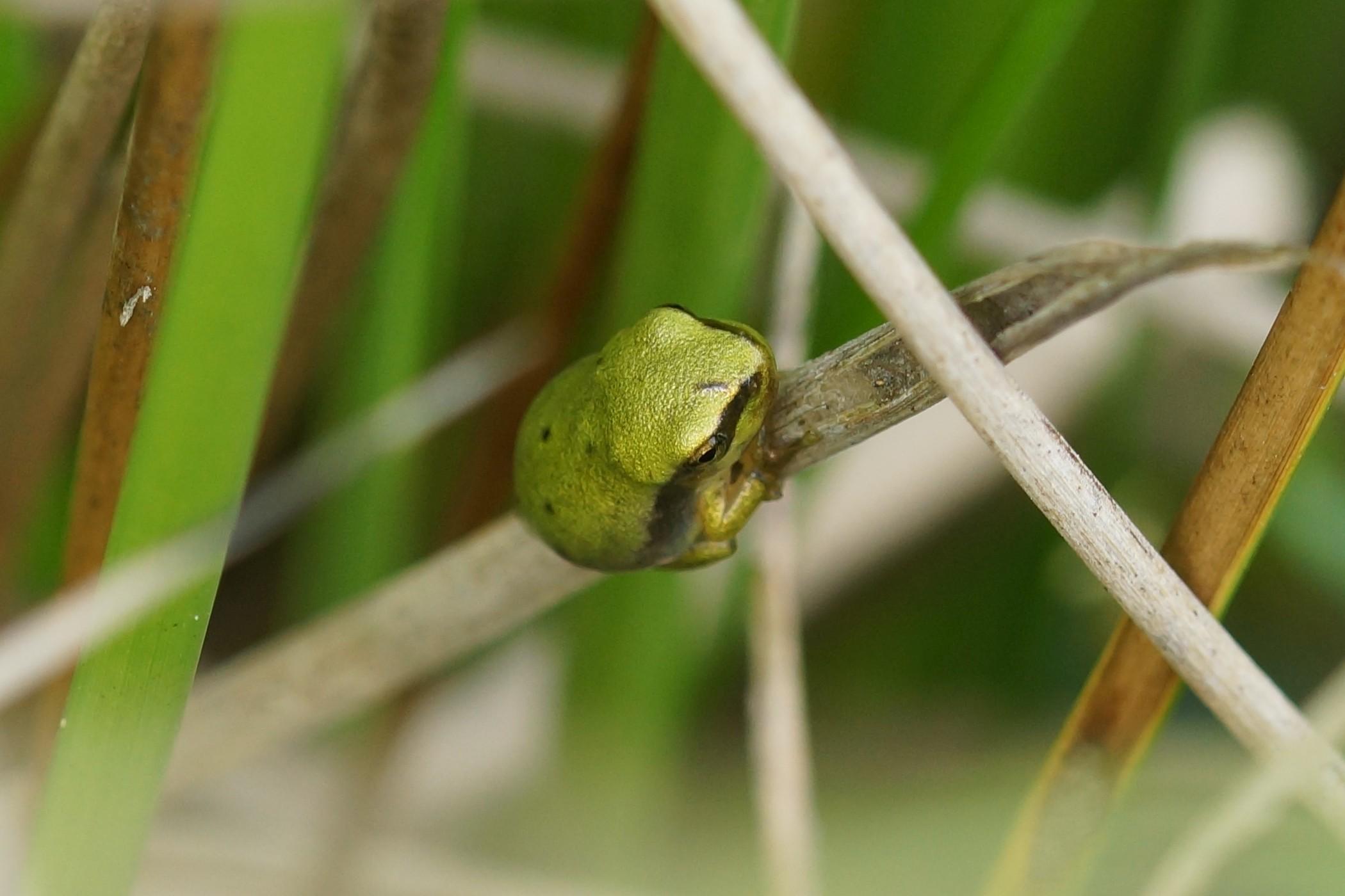 <i>Hyla arborea</i> (Europäischer Laubfrosch)