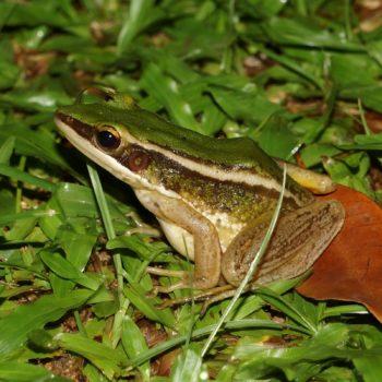 Amphibia (Amphibien) - Thailand 2016