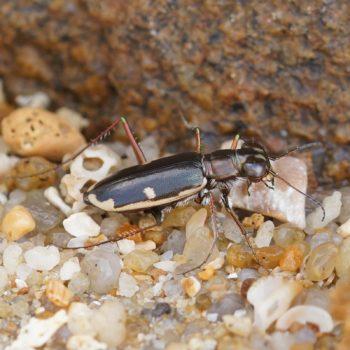 Coleoptera (Käfer) - Thailand 2016
