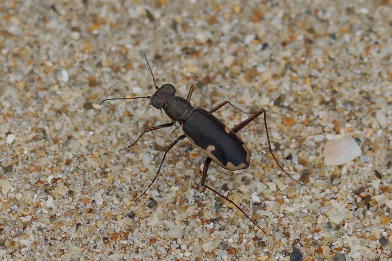 <i>Hypaetha biramosa</i> (Sandlaufkäfer)