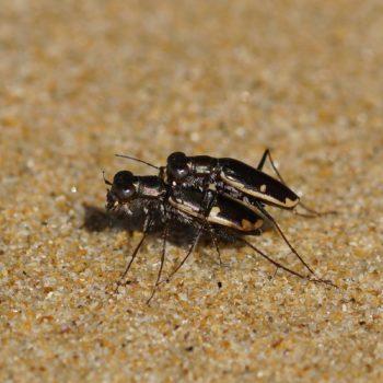 Hypaetha biramosa (Sandlaufkäfer)