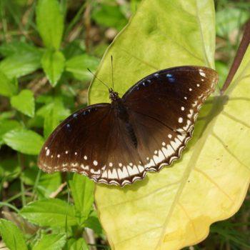 Hypolimnas bolina (Große Eierfliege) - Thailand