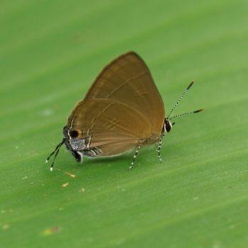 Hypolycaena erylus (Common Tit)