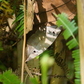 Hypopyra cf. pudens (Eulenfalter)