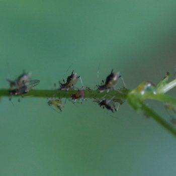 Impatientinum asiaticum (Röhrenblattlaus)