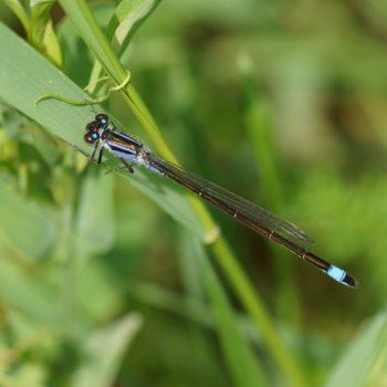 Ischnura elegans (Große Pechlibelle)