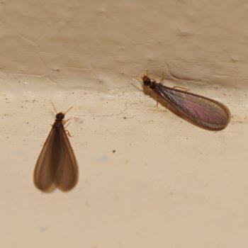 Isoptera sp. (Termite)
