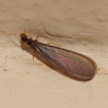 Termitidae sp. (Höhere Termite) - Thailand