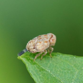 Issidae sp. (Käferzikade) - Thailand